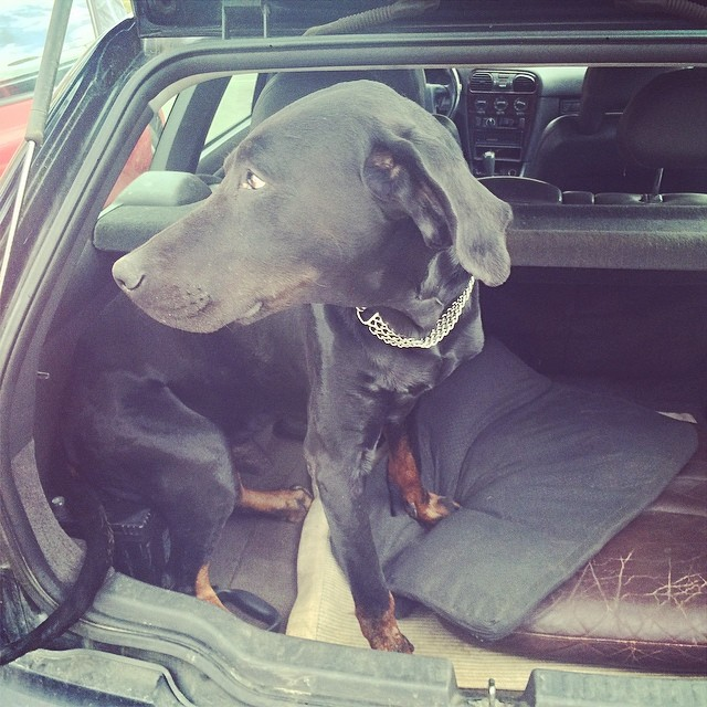 Thanks Daddy for The extra carbattery in The trunk! #dobermann