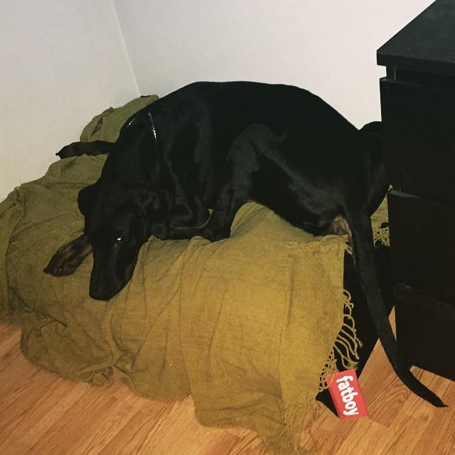 Klart att vår älskling skulle få en fatboy-säng! Gammelgubben ! #leonlopez #dobermann