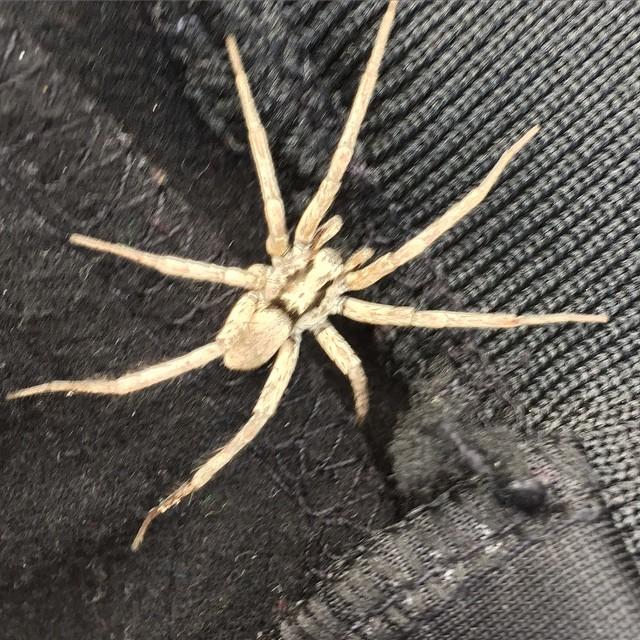 Ni som känner mig väl , vet att jag avskyr spindlar ( spindelfobi ) ! Självklart blev jag biten i halsen av denna :( !! 1 vecka sedan snart och svullnaden har äntligen börja släppa!!